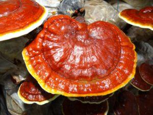 Le pouvoir de guérison des champignons médicinaux.