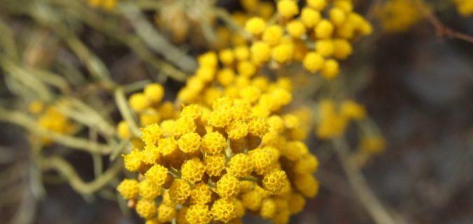 Les plantes aromatiques et médicinales de Corse au coeur d'un programme de recherche.