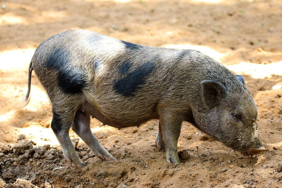Carnea de Porc - Producere, Procesare si Valorificare