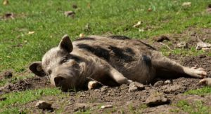 Voici pourquoi vous ne devriez pas manger la viande de porc ?