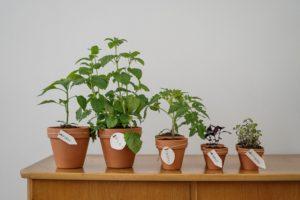 Comment cultiver des tomates en utilisant des méthodes biologiques?
